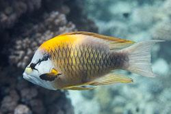 BD-150223-Sharm-6394-Epibulus-insidiator-(Pallas.-1770)-[Sling-jaw-wrasse.-Slängkäft].jpg